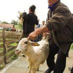 PLATI RESTANTE – Fermierii maramureseni au incasat aproape 30 milioane lei din subventia pe anul trecut (VIDEO)