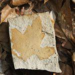 PROIECT – Poteca printre frunzele de pe vremea vulcanilor, in rezervatia fosilifera Chiuzbaia
