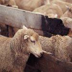 AFACERI CU OI – Efectivele de ovine din Maramures au crescut cu 23% in ultimul an (VIDEO)