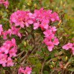 DRUMETII – TRASEE TURISTICE MUNTII RODNEI – In PNM Rodnei, la inflorirea rododendronului (GALERIE FOTO)