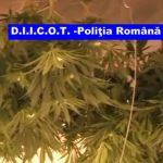 PERCHEZITII – Cea mai mare cultura de cannabis din Romania, descoperita in Arad (VIDEO)