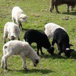 AJUTOR FINANCIAR – Crescatorii de ovine vor primi suplimentar 4,5 euro pentru fiecare animal