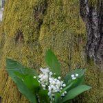 TRASEE TURISTICE – MARAMURES – In Muntii Codrului, la infloritul lacramioarelor din Padurea Potoc din Basesti