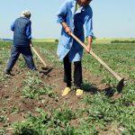 AGRICULTURA – IMPOZITE – Agricultorii PFA, scutiti anul acesta de la plata impozitului pe venit