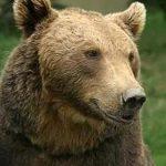 MONITORIZARE – Populatia de urs brun numara mai putin de 250 de exemplare in Maramures (VIDEO)
