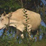 RESTRICTII – Crescatorii de bovine din Maramures cer o solutie urgenta pentru reluarea exporturilor blocate de boala limbii albastre (VIDEO)