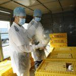 PROBLEME – Gripa aviara se extinde in principalele zone cu ferme avicole din Taiwan