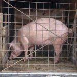 ESTIMARI – Consumul de carne de porc va scadea cu 15-20% de Craciun