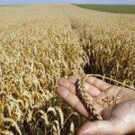 AGRICULTURA – Cincizeci de fermieri din Ulmeni asteapta bani europeni pentru dezvoltare (VIDEO)
