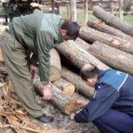 Se (mai) fură ca din codru ! Încă un dosar penal pentru furt de arbori din pădurile Maramureșului