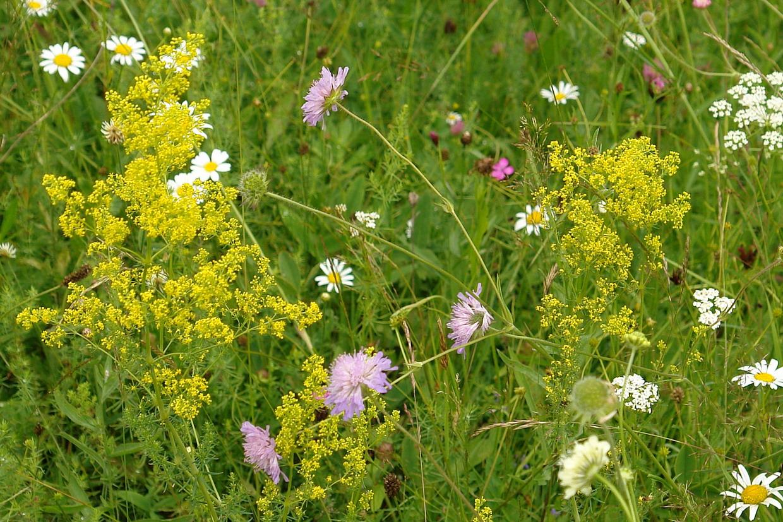Foto: flori de sanziene